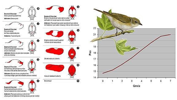 Escala del greix dels ocells